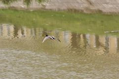 Wild duck. Flying over a river Stock Image