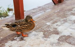 Wild duck in the winter on the bridge. Wild duck in the winter near the pond Royalty Free Stock Images