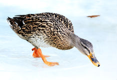Wild  duck winter Stock Image
