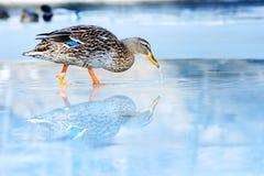 Wild  duck winter Stock Photos