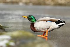 Wild duck in winter Royalty Free Stock Photo