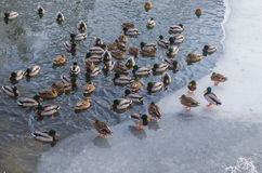 Wild duck in the winter in the water and on the ice Stock Image