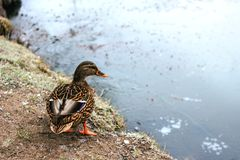 Wild duck in the winter near the pond royalty free stock image