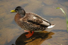 Wild duck. Royalty Free Stock Images