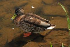 Wild duck. Stock Photography