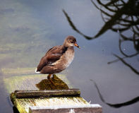 Wild duck on wooden stair Stock Photography