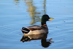 Wild duck talking, while swimming  Royalty Free Stock Photos