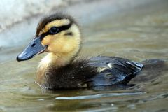 Wild Duckling. A cute wild duckling swimming Stock Photos