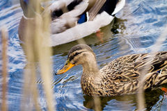 Wild duckling floating on a river in thickets of reeds Royalty Free Stock Images