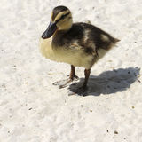 Wild duckling on sand. Wild duckling standing on white sand after swimming Royalty Free Stock Image
