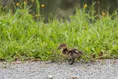 Wild ducklings on land - chicks. A mallard duck walks alone on land - close-up chicks Stock Photo