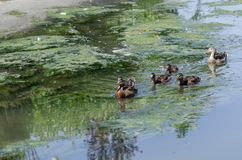 The wild ducklings are swimming in the reeds. Wild ducklings fed in the reeds.They are fed by catching worms by diving out of the water Stock Photography