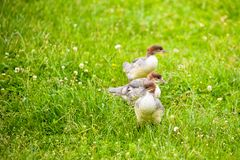 Wild ducklings. Three  ducklings with brown colored heads  wondering through  a grass meadow  with clover in flower Royalty Free Stock Photos