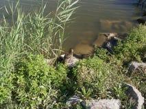 Wild ducks, утки Stock Photo
