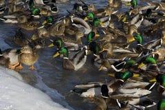 Wild ducks Royalty Free Stock Image