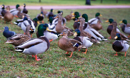 Wild ducks. A photo on the bank of lake Stock Photos
