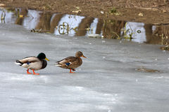 Wild ducks Royalty Free Stock Image