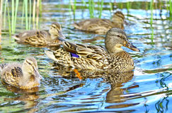 Wild ducks Royalty Free Stock Photo