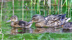 Wild ducks Royalty Free Stock Photography