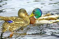 Wild ducks Stock Images
