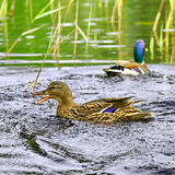 Wild ducks Royalty Free Stock Photos