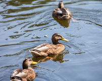 Wild ducks Stock Images