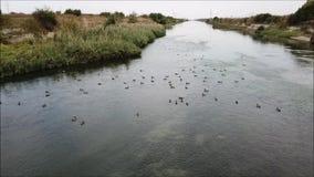 Wild ducks. Air view of a colony of  on the Dambovita River stock video