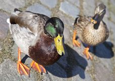 Wild ducks in Amsterdam Royalty Free Stock Images