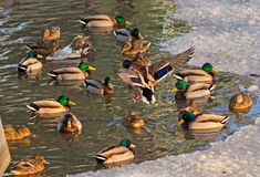 Wild ducks Stock Image