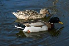Wild ducks. Beautiful wild ducks in the wild Stock Photography