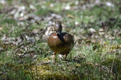 Wild ducks Stock Photos