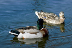 Wild ducks. Beautiful wild ducks in the wild Royalty Free Stock Photo