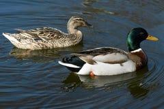 Wild ducks. Beautiful wild ducks in the wild Stock Image