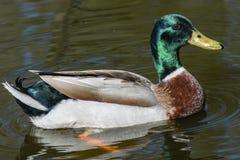 Wild ducks. Beautiful wild ducks in the wild Stock Photo