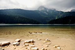 Wild Ducks on Black Lake in Montenegro Stock Photo