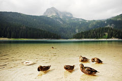 Wild Ducks on Black Lake in Montenegro Royalty Free Stock Images