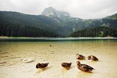 Wild Ducks on Black Lake in Montenegro Royalty Free Stock Images
