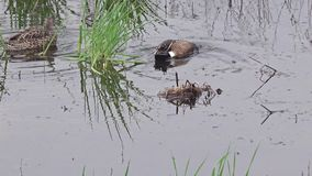 Wild Ducks Blue-winged Teal Royalty Free Stock Photo