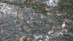 Wild ducks bread catch in the river stock footage