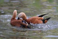 Wild ducks during breeding season. Two wild ducks during breeding season Stock Photography
