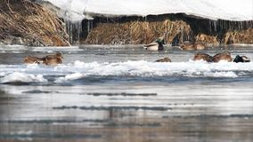 Wild ducks on busy frozen river stock video footage