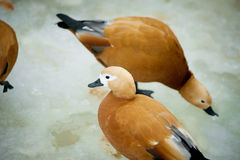 Wild ducks called ogars in winter frozen lake Stock Images