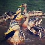 Wild ducks chick (Anas platyrhynchos) Stock Image