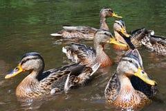 Wild ducks chick (Anas platyrhynchos) Royalty Free Stock Image