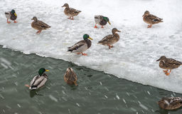Wild ducks in a city Park in winter during a snowfall. Stock Images