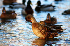 Wild ducks in cold pond. Water Royalty Free Stock Photos