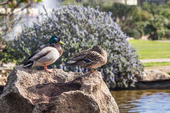 Wild ducks. A couple of a wild ducks Royalty Free Stock Photos