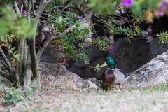 Wild ducks. A couple of a wild duck Royalty Free Stock Photos