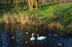 Wild ducks and whte swans swimming next to colorful grass. Wild ducks and couple of white swans swimming next to green grass and colorful reed in park in fall Royalty Free Stock Images