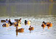 Wild ducks covey sunset lake. Mallard (Anas platyrhynchos) is representative of the family Waterfowl, order Anseriformes. Fly off noisily, her voice is quiet Royalty Free Stock Image